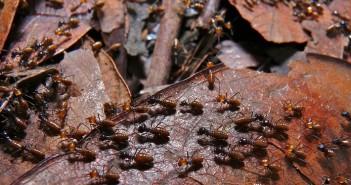 Termites Nasutitermes sp.